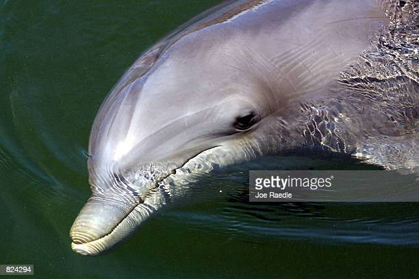 A bottlenose dolphin swims May 4 2001 at the Dolphins Plus marine mammal research and education center in Key Largo Florida As pioneers in...