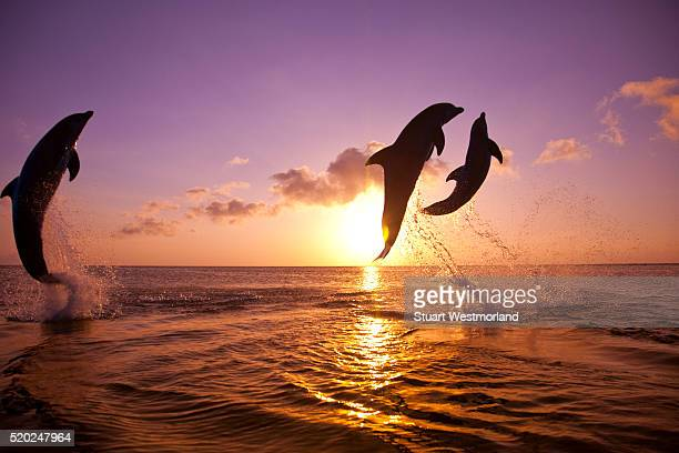 bottlenose dolphins at sandy bay - dolphin stock pictures, royalty-free photos & images
