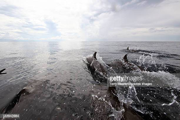bottlenose dolphins breach the surface in front of the boat, papua new guinea. - indo pacific ocean stock pictures, royalty-free photos & images