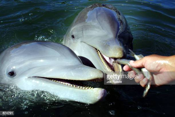 Bottlenose dolphins feed May 4 2001 at the Dolphins Plus marine mammal research and education center in Key Largo Florida As pioneers in dolphinhuman...