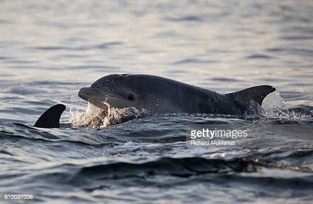 bottlenose dolphins in the moray firth - モーレイ湾 ストックフォトと画像