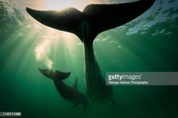 bottlenose dolphins, inisheer, aran islands, ireland - dolphin stock pictures, royalty-free photos & images