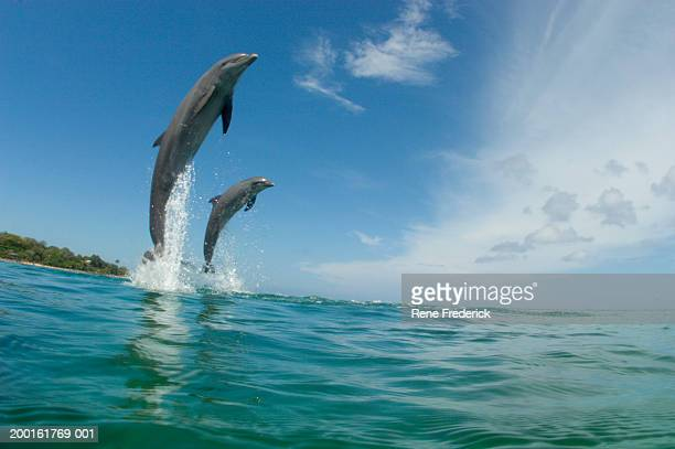 Bottlenose dolphins (Tursiops truncatus) jumping, low angle view