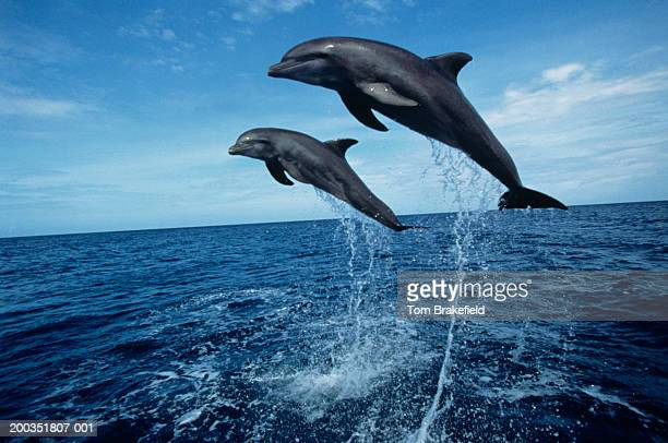 Bottlenose dolphins (Tursiops truncatus) jumping