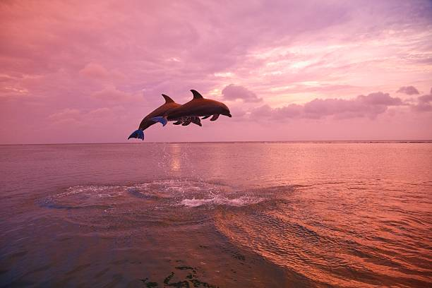 Bottlenose Dolphins (Tursiops Truncatus) Jumping Together At Sunset In The Caribbean Sea Wall Art