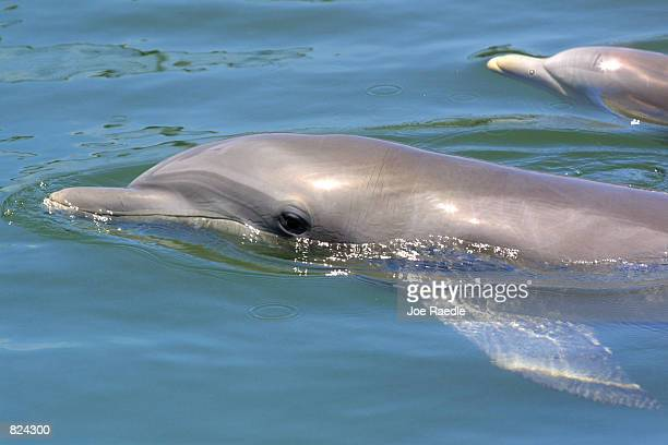 Bottlenose dolphins swim May 4 2001 at the Dolphins Plus marine mammal research and education center in Key Largo Florida As pioneers in dolphinhuman...