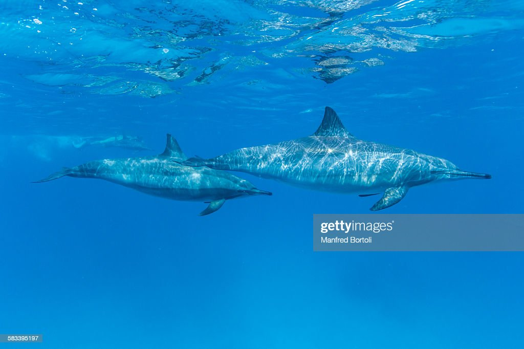 Bottlenose dolphins swimming close to the surface : Stock Photo