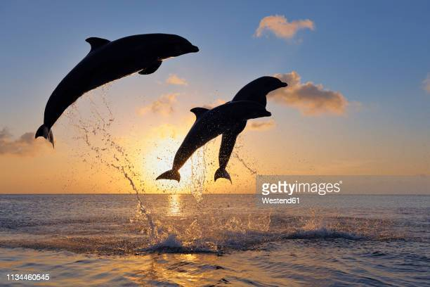 bottlenose dolphins, tursiops truncatus, jumping in caribbean sea at sunset - イルカ ストックフォトと画像
