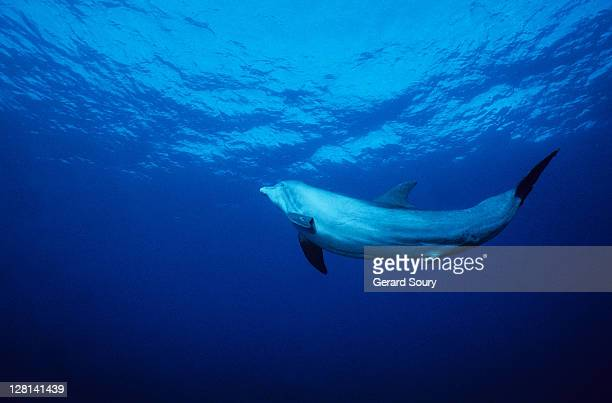 bottlenose dolphin,tursiops truncatus,underwater,providenciales - male erection stock pictures, royalty-free photos & images