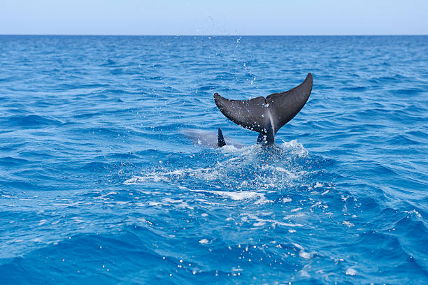 Bottlenose dophin tail fin