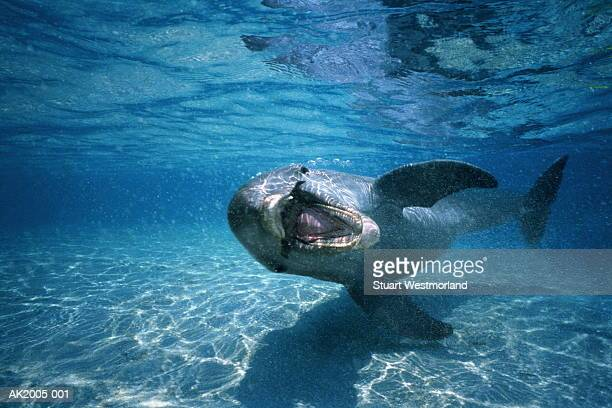 Bottle-nosed dolphin (Tursiops truncatus),Honduras,underwater view