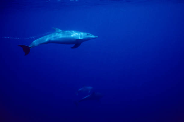 Bottlenosed Dolphin In Blue Wall Art