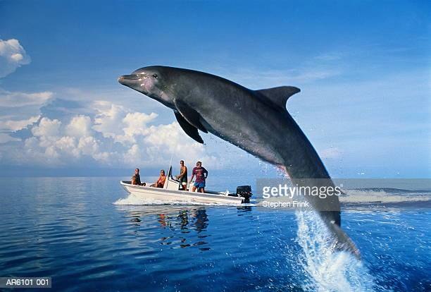 Bottle-nosed dolphin (Tursiops truncatus) leaping near tour boat