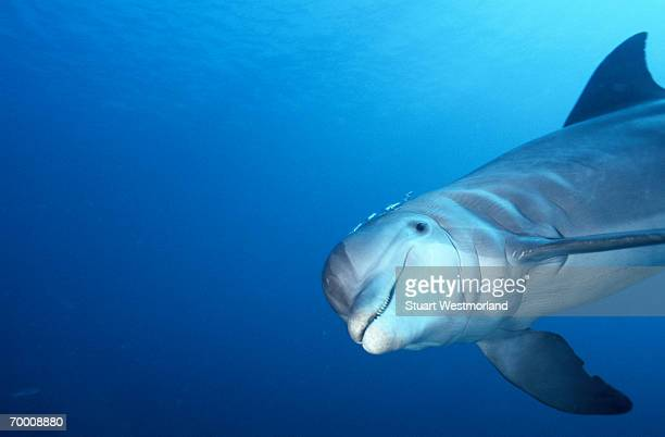 bottle-nosed dolphin (tursiops trancatus) roatan, honduras - dolphin stock pictures, royalty-free photos & images