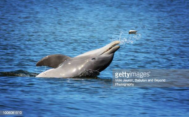 bottle-nosed dolphin tossing fish at fort myers beach, florida - fort myers beach stock pictures, royalty-free photos & images