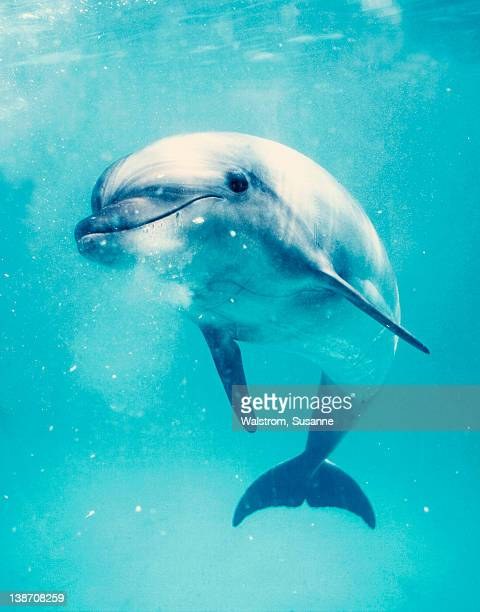 Bottlenosed dolphin underwater
