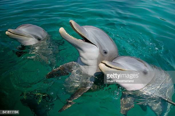 bottlenosed dolphins at water's surface - dolphin stock pictures, royalty-free photos & images