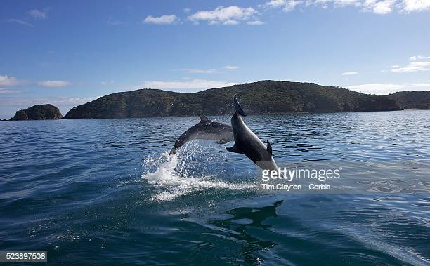 Bottlenosed Dolphins in playful mood watched by Dolphin watch boats who follow the dolphins in the waters around Paihia while taking part in the...