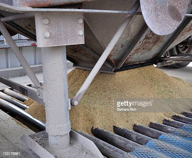 Bottom dumping rice from trailer into rice dry