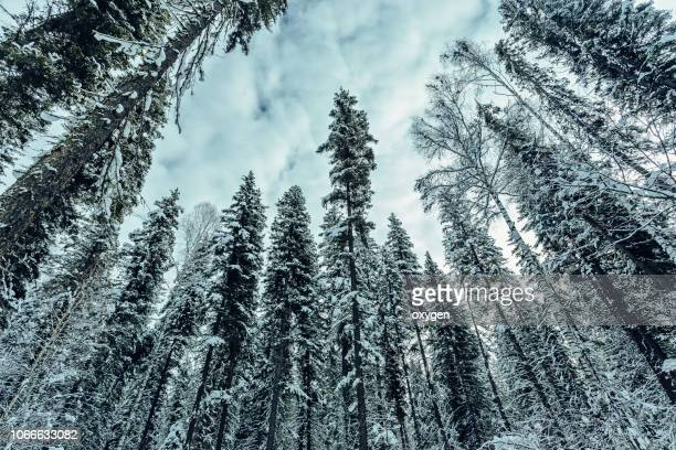 Bottom view of trees covered with snow in forest. White snow-covered tree branches against the blue sky