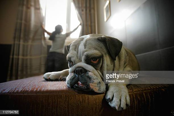 'Bouboule' an English bulldog rests in its hotel room at Actuel Dogs on April 19 2011 in Vincennes France Opened in November 2010 by Devi and Stan...