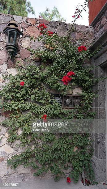 Bougainvilla vine wrapping Around water and electricity meters San Miguel de Allende Mexico