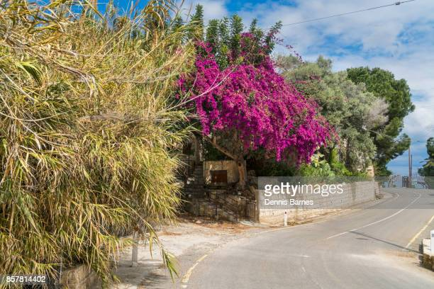 bougainvillaea flowering in march at roadside, akamas peninsula near polis, west cyprus - アカマス半島 ストックフォトと画像