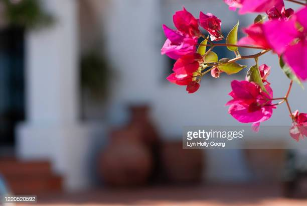 bougainvillaea with defocussed earthenware pots in background - lyn holly coorg stock pictures, royalty-free photos & images