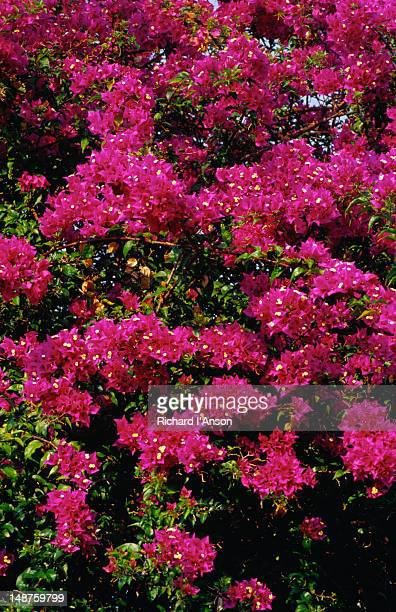 Bougainvillea, a tropical woody nyctaginaceous widely cultivated climbing plant with inconspicuous flowers surrounded by showy red or purple bracts, in Bicentennial Park.