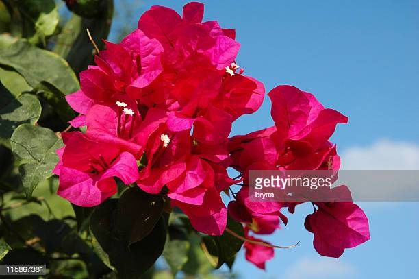 bougainvillea against a blue sky - bougainville stock photos and pictures
