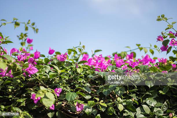 bougainvillea against blue sky - magenta stock pictures, royalty-free photos & images