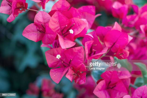 bougainvillea close-up - bougainville stock photos and pictures