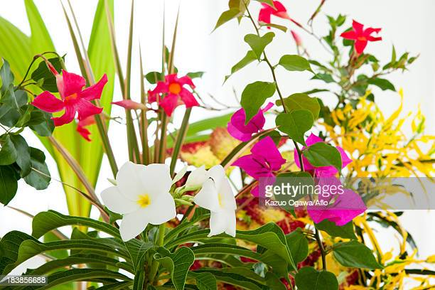 Bougainvillea Coconut Palm and Frangipani flowers