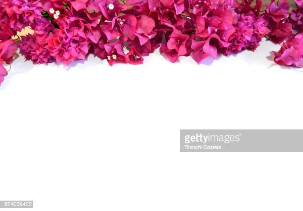 Bougainvillea flowers framing a white background