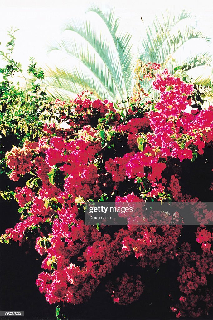 Bougainvillea flowers : Stock Photo