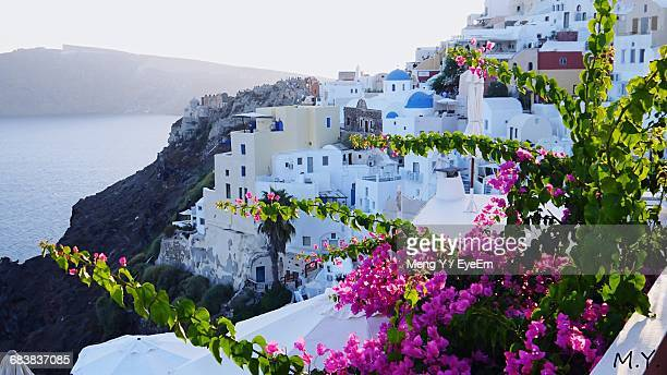 Bougainvillea Growing On Plant Against White Buildings At Santorini