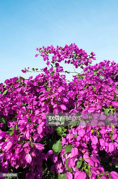 bougainvillea hedge in front of light blue sky. - magenta stock pictures, royalty-free photos & images