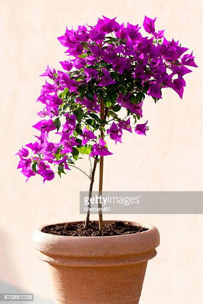 bougainvillea in a flower pot - bougainville stock photos and pictures
