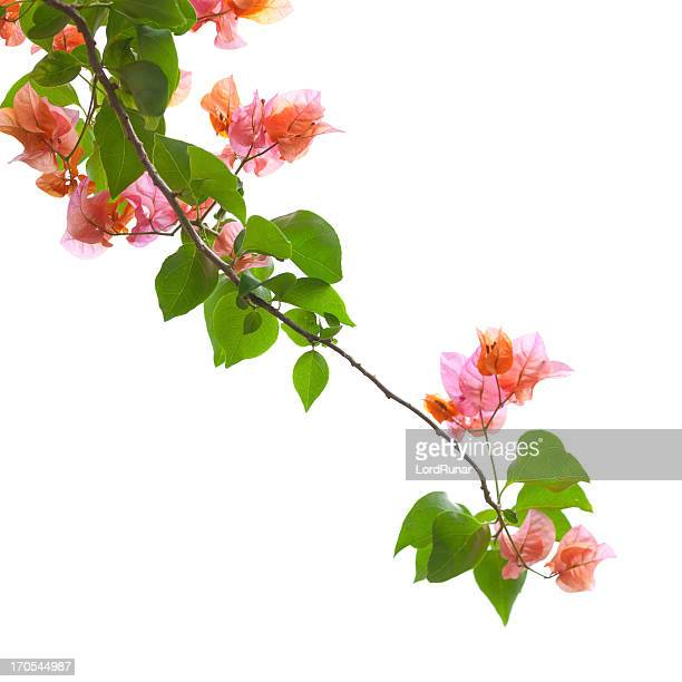 bougainvillea isolated on white - tropical bush stock pictures, royalty-free photos & images