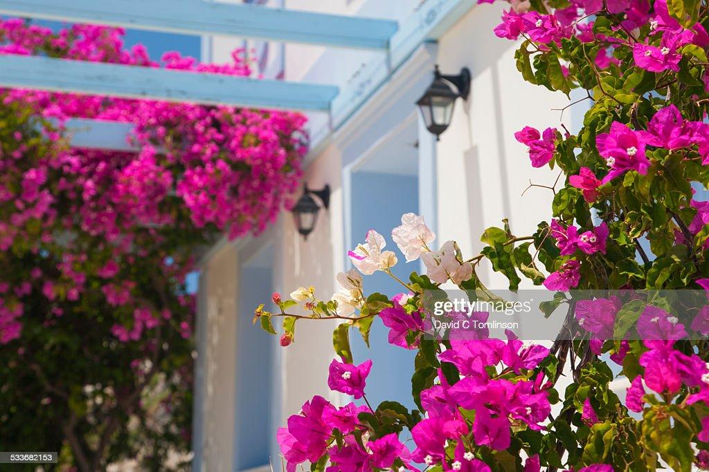 Bougainvillea, Mandraki, Kastellorizo, Greece : Foto stock
