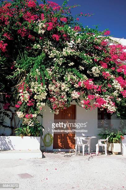 bougainvillea outside a house, lindos, rhodes island, greece - lindos stockfoto's en -beelden