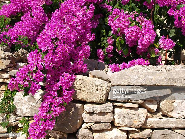 bougainvillea - bougainville stock photos and pictures