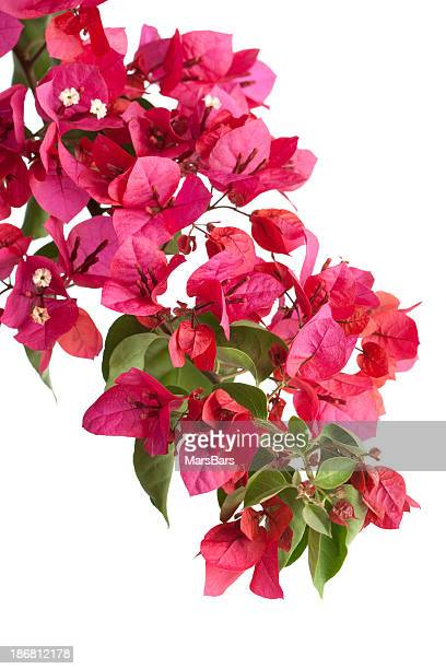 bougainvillea (isolated) - bougainville stock photos and pictures