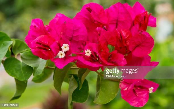 bougainvillea - crmacedonio imagens e fotografias de stock