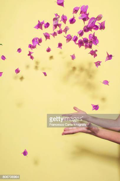 bougainvillea - petal stock pictures, royalty-free photos & images
