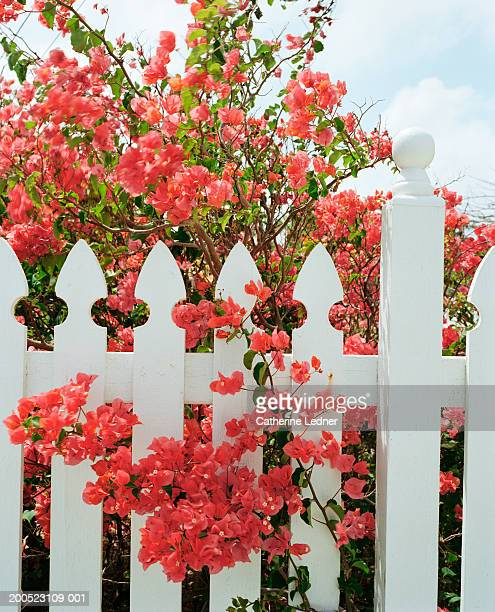 Bougainvilleas and white picket fence