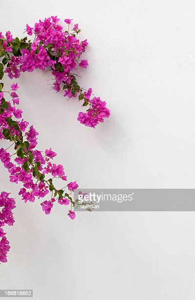 bougainvilleas in bodrum - bougainville stock photos and pictures