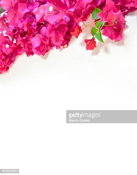 bouganvillea's flowers on white background - bougainville stock photos and pictures