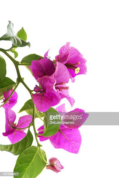 bouganvilleas on white - bougainville stock photos and pictures