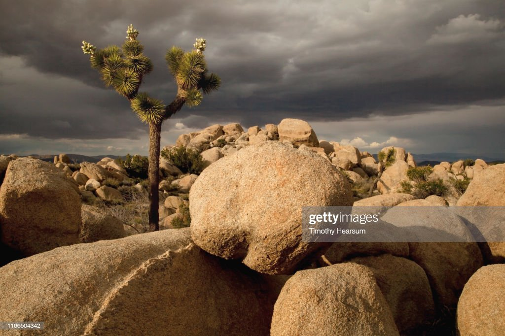 Boulders and single Joshua Tree (with blossoms gone to seed) in the sunlight; dramatic dark sky beyond : Stock Photo